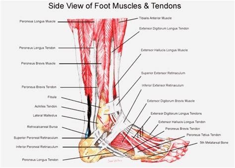 foot diagram of parts foot and ankle anatomy search pedorthics