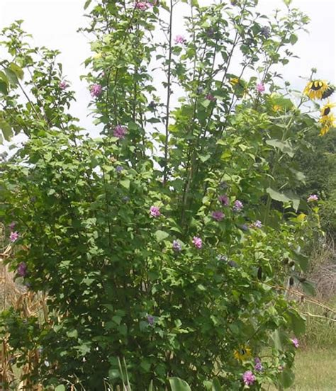 althea plant hibiscus syriacus of of althea plant page
