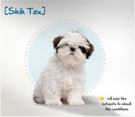ming dynasty shih tzu pin by herron click on my of dogs