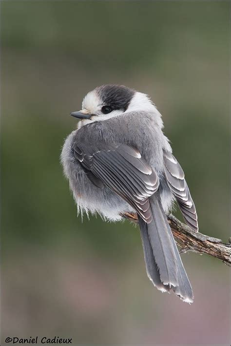 gray jay the birds pinterest