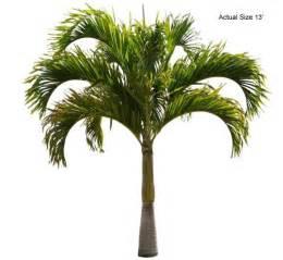 christmas palm veitchia merrillii