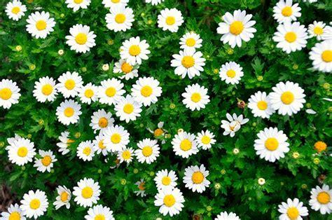 significato dei fiori margherita il significato dei fiori d it repubblica
