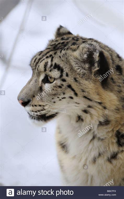 reset nvram snow leopard snow leopard low dof portrait stock photo royalty free