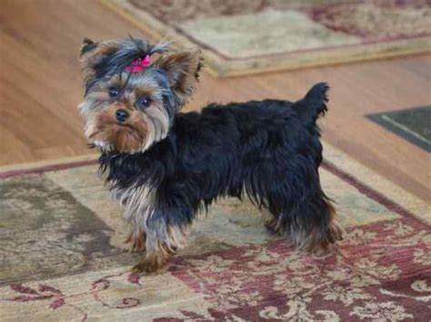 4 pound yorkie miniature terrier terrier shares