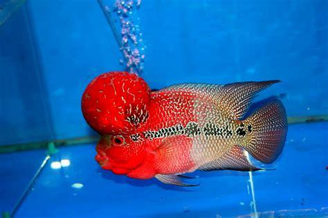 Pakan Ikan Louhan Srd flowerhorn the hybrid cichlids master kok
