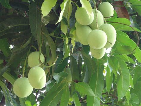 mango tree with fruits mango tree and fruits image goingfabulous