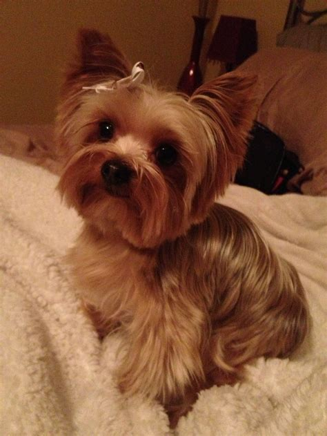 pics of yorkies haircuts 90 best yorkies images on pinterest yorkies yorkie