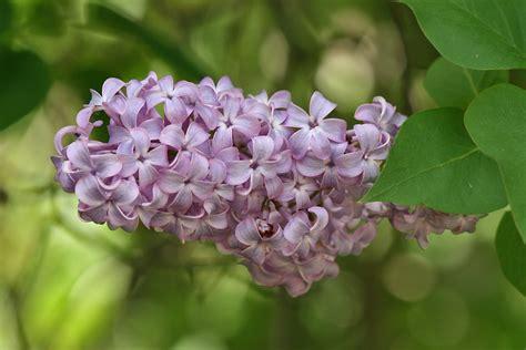 lilacs flowers syringa vulgaris wikipedia