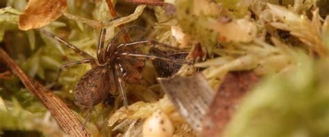 hobo spider fangs