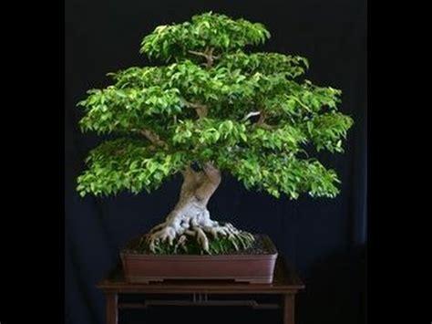 Ginseng Lokal ginseng ficus the bonsai tree for the beginner