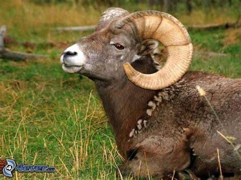 the ram animal schafbock