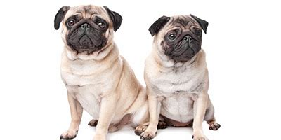 unique pug names awesome pug names 95 sweet silly adorable ideas