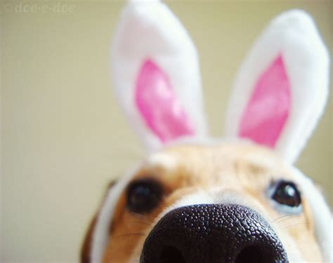bunny ears for dogs 20 dogs wearing bunny ears an easter miracle dogvacay official