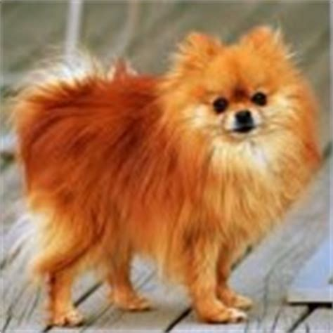 pomeranian losing teeth diseases of breeds your own vet