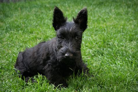puppies for sale in yuma az scottish terrier puppies dogs for sale in mesa arizona az 19breeders