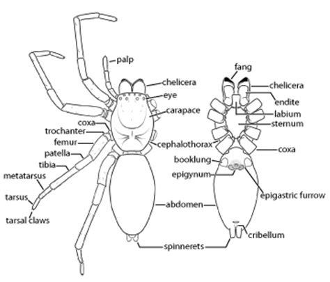 diagram of a black widow spider spider anatomy diagram spider get free image about