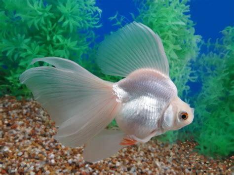 china doll goldfish goldfish varieties