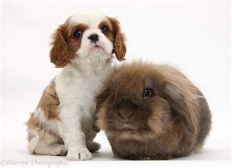 Pets: Cavalier King Charles Spaniel pup and rabbit photo ...