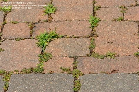 Patio Pavers Weeds Beginner Gardening Best Method To Kill Weeds Growing