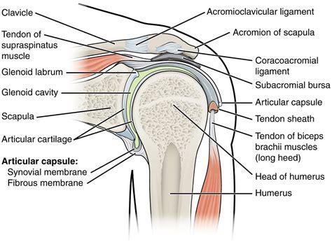 diagram of a shoulder shoulder diagrams diagram site