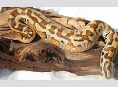 Not just ball pythons - adult carpets, angolans, and all ... Irian Jaya Carpet Python Sale