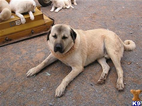 kangal price great pyrenees puppies for sale working guard dogs pyr breeders breeds picture