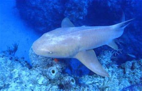 requin dormeur le requin dormeur les seigneurs de la mer requin orque
