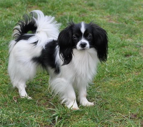 papillon puppy road s end papillons expected phalene papillon puppies in april 2012