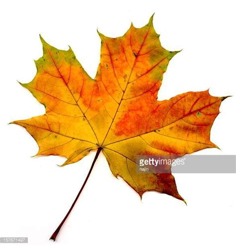 Maple Leaf maple leaf stock photos and pictures getty images