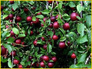 Jual Bibit Buah Plum jual bibit tanaman buah srikaya jual bibit tanaman buah