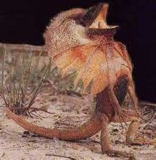 frilled lizards facts  kids