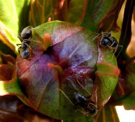 Ameisen Im Garten Vernichten by Ameisen Vernichten Rote Ameisen Im Garten Vernichten Ja Und Dann Hab Ich Ameisen Bek Mpfen