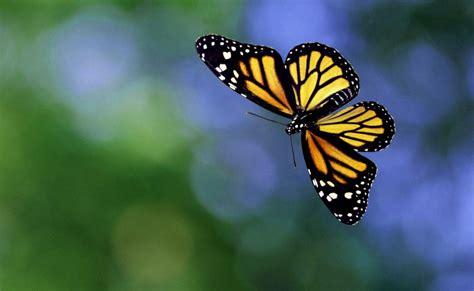 imagenes de mariposas oscuras estas son las fotos de mariposas preciosas imagenes de