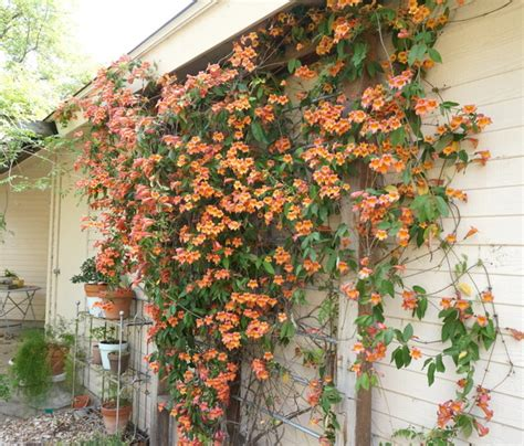 vines for trellis an outdoor makeover for