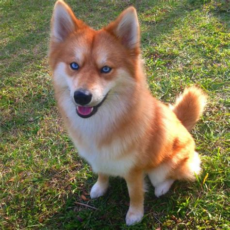 pomeranian mixed husky this pomeranian husky mix is the pet fox you always wanted