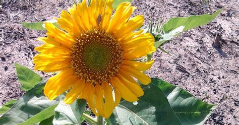Jual Biji Bunga Matahari Di Bali kebun menabur dan menuai bunga matahari kembang di ladang