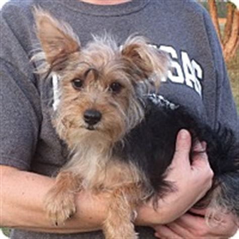 yorkie puppies rochester ny rochester ny yorkie terrier meet lester a puppy for adoption