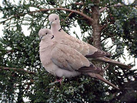 tortore alimentazione tortora dal collare orientale uccelli allevamento accessori