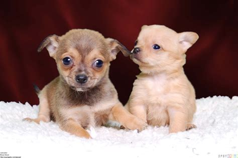 how much are chihuahua puppies chihuahua puppies wallpaper 8918 open walls