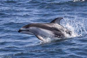 Photo below one of these small dolphins was leaping ahead of the boat