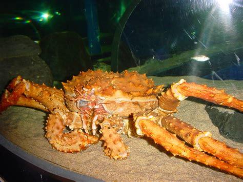 file alaska king crab jpg wikimedia commons