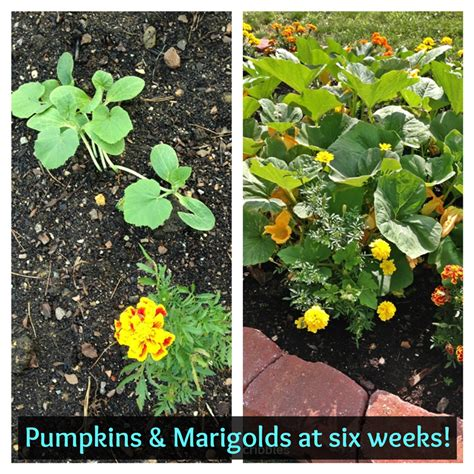 vegetables 2014 summary marigolds and vegetables experiment update