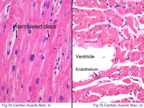 smooth muscle cross section block3 fig 7a cardiac muscle fiber ls
