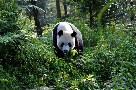 imagenes jpge oxford scientific films pandas 3d back to the wild