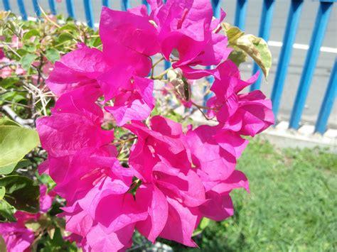 Bunga White pink white bougainvillea bunga kertas steemit
