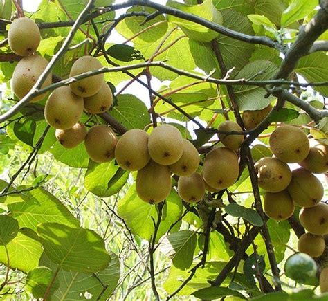 kiwi fruit trees shop popular kiwi tree from china aliexpress