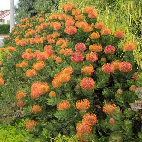 plants  leucospermum patersonii  plants