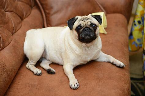 pug sofa pug sofa conceptstructuresllc