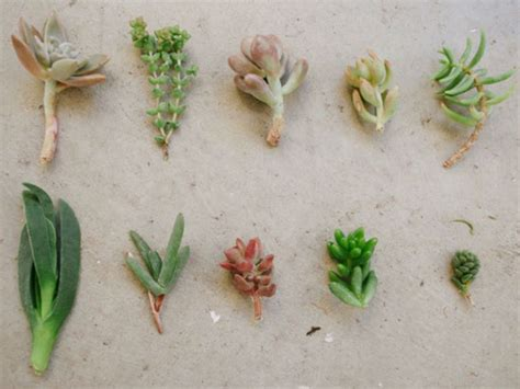 Propagating Succulents Succulents And Plants On - 16 best images about plants propagation on