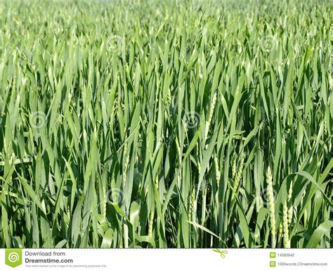 Crop Abstrac abstract nature of farm crops stock photography image